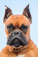 Portrait of a beautiful boxer dog breed photo