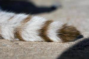 domestic cat tail photo