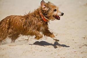 wet domestic dog running photo