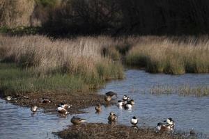 ducks in the marshland photo