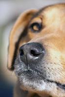nariz de perro doméstico foto