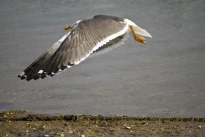 vuelo de gaviota cerca de la orilla foto