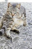 domestic cat on a funny pose photo