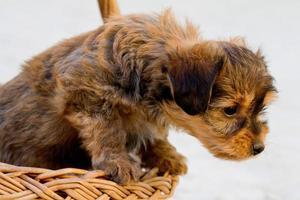 domestic dog inside a basket photo