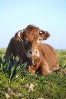 brown cow closeup photo