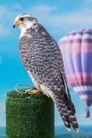 peregrine falcon bird of prey photo