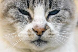 domestic cat closeup photo