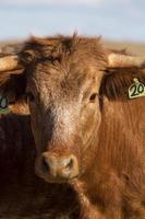 brown cows on arid land photo