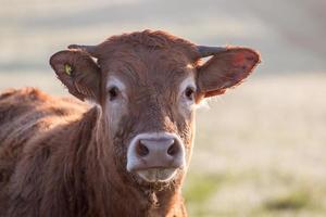 primer plano de vaca marrón foto