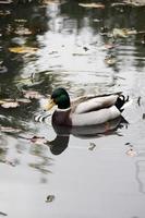 mallard duck  closeup photo