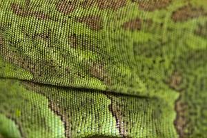 iguana lizard skin photo