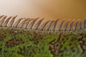 iguana spiked back photo