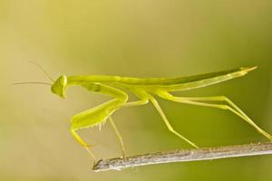 European Dwarf Mantis photo