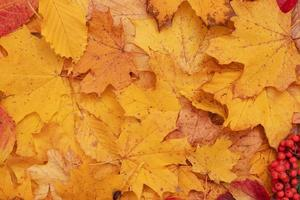 Autumn leaves fallen from maple and mountain ash. Autumn natural background photo