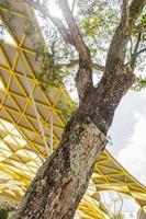 mimusops elengi árbol con sol y rayos de sol, los jardines botánicos de Perdana foto