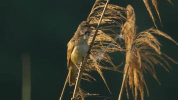 Great reed warbler singing - ungraded footage video