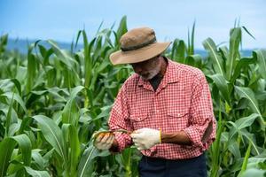 Mature farmer working in the corn-field organic farm photo
