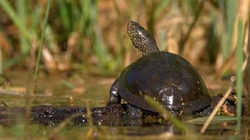 European pond turtle sunbathing video