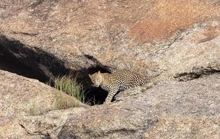 Leopard Panthera pardus standing out of cave on aravali hills photo