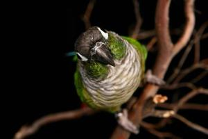High Depth of Field Image of a Conure photo