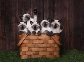 Adorable Siamese Kittens in A Basket photo