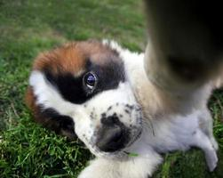 Closeup Perspective of a Saint Bernard Puppy Outdoors photo