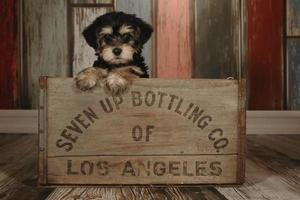Cute Teacup Yorkie Puppy in Adorable Backdrops and Prop for Calendar or Cards photo