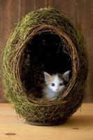 Calico Kitten Inside a Grass Egg on Wooden Background photo