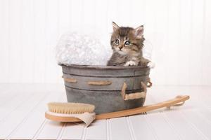 Maincoon Kitten With Big Eyes in Washtub Bathing photo