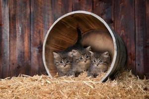Lindos y adorables gatitos en un granero con heno foto