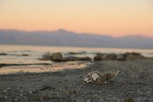 Fish Skeleton Along the Shores of the Salton Sea photo