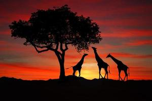 Large South African Giraffes at Sunset in Africa photo