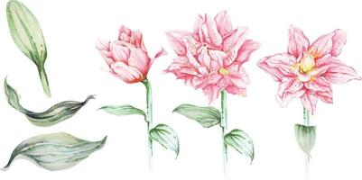 Set lily watercolor.Pink lily flower set, drawing with watercolor isolated on white background.Hand drawn illustration, the bright flowers.Lilies with watercolor. vector