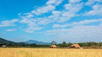 nube de lapso de tiempo moviéndose sobre los campos de arroz amarillo. video