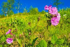 Beautiful meadow flower pink geranium. Summer landscape Hemsedal Norway photo