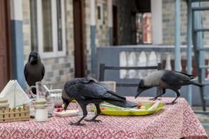 Raven, crow birds over breakfast. Lake Side, Pokhara, Nepal photo