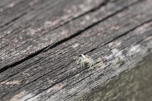 Hermosa pequeña araña saltadora tropical sobre un fondo de madera, Malasia foto