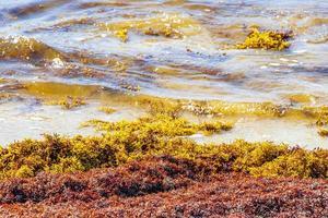 Muy repugnante sargazo de algas rojas playa Playa del Carmen, México foto