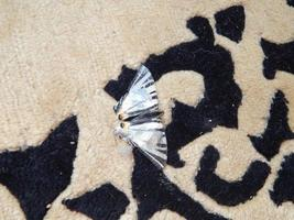 Butterfly machaon sitting on the carpet photo