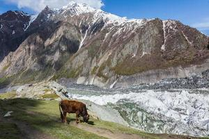 Cow on highland mountain pasture glacier field photo
