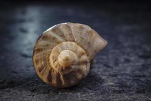 spiral shell of a sea mollusk. golden ratio photo
