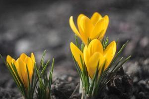 primeras flores de primavera. azafranes amarillos foto