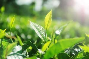 Fresh tea leaves and morning sunshine photo