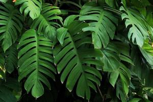 Monstera plants or leaves thrive in tropical forests photo