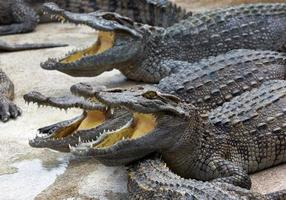 Freshwater crocodile opened his mouth on the farm. photo