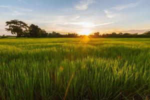 First stage of flowering of the rice plant on field photo