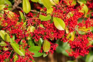 bayas rojas de buffaloberry plateado en primer plano. baya roja ligeramente seca en el arbusto en el jardín. psicodélico. buffaloberry plateado, shepherdia argentea. bayas de arándano rojo rodeadas de arbustos foto