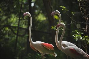 Flamingo in the zoo. photo