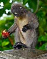 Dusky leaf monkey at Khao Lom Muag, Prachuap Khiri Khan, Thailand photo