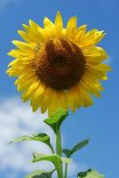 Big sunflower in the garden and blue sky, Thailand photo